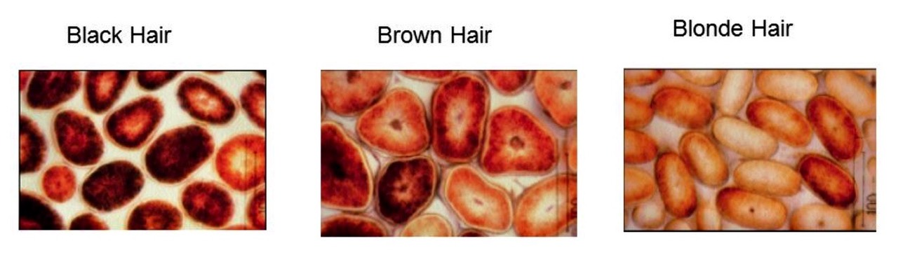 Hair color-pheomelanin and  Eumelanin